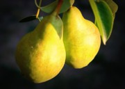 Warm Colors Prints - Backyard Garden Series - Two Pears Print by Carol Groenen
