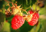 Red And Green Photo Posters - Backyard Garden Series - Two Ripe Raspberries Poster by Carol Groenen