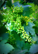 Food And Beverages Photos - Backyard Garden Series - Young Grapes by Carol Groenen