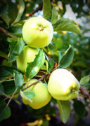 Washington Art - Backyard Garden Series- Golden Delicious Apples by Carol Groenen