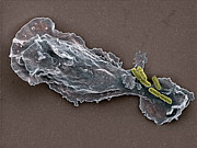 False-coloured Posters - Bacteria And Neutrophil Cell, Sem Poster by