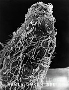 Nitrogen Prints - Bacteria On Sorghum Root Tip Print by Science Source