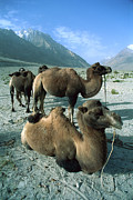 Critically Endangered Animals Prints - Bactrian Camel Camelus Bactrianus Group Print by Colin Monteath