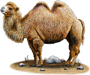 Desert Drawings Metal Prints - Bactrian Camel Metal Print by Roger Hall and Photo Researchers