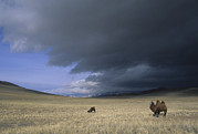 Bactrian Camels In Bayan-ulgii,mongolia Print by David Edwards