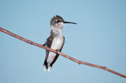 Ruby-throated Hummingbird Photos - Bad Feather Day by Betty LaRue
