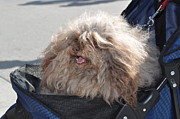 Brown Tones Photos - Bad Hair Day Dog by Sallie-Anne Swift