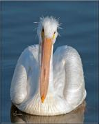 Pelican Photos - Bad Hair Day by Sally Mitchell