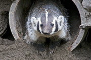 Lightscapes Photos - Badger by Sean Griffin