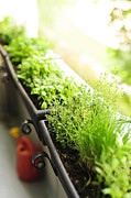 Soil Photo Posters - Balcony herb garden Poster by Elena Elisseeva