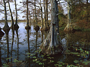 Bald Cypress Prints - Bald Cypress At Upper Blue Basin This Print by Tim Fitzharris
