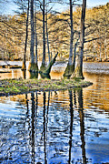 Mountain Fork Creek Prints - Bald Cypress Stand Print by Diana Cox