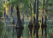 Bald Cypress Prints - Bald Cypress Swamp Sam Houston Jones Print by Tim Fitzharris