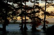 Reelfoot Lake Posters - Bald Cypress Trees Growing Poster by Raymond Gehman