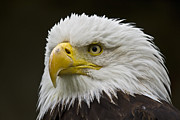 Bald Eagle - 6 Print by Heiko Koehrer-Wagner