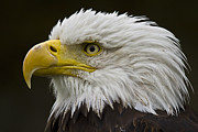 Eagle Metal Prints - Bald Eagle - 7 Metal Print by Heiko Koehrer-Wagner