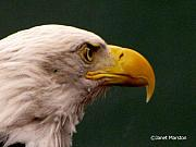 Janet Marston - Bald Eagle 07