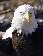 Bald Eagle 1 Print by Marty Koch