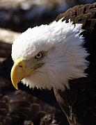 Bald Eagle 2 Print by Marty Koch