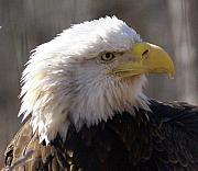 Bald Eagle 3 Print by Marty Koch