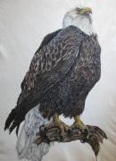 Alfred Ng - bald eagle