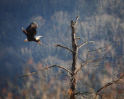 Boxley Valley Prints - Bald Eagle at Boxley Mill Pond Print by Michael Dougherty
