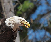 Concord Center Metal Prints - Bald Eagle at McLane Center Metal Print by Peter Gray