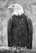 Bald Eagle Framed Prints - Bald Eagle Black and White Framed Print by David  Naman