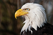 Bald Eagle Framed Prints - Bald Eagle Framed Print by Chad Graham
