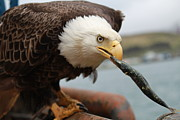 Trawling Boats Framed Prints - Bald eagle chomping on a fish Framed Print by Dean Gribble