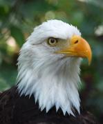 Christine Savino - Bald Eagle