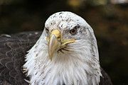 Bald Eagle Framed Prints - Bald Eagle Closeup Framed Print by Karol  Livote