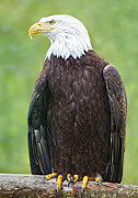 Bald Eagle Framed Prints - Bald Eagle Framed Print by David  Naman