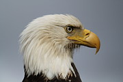 Trawling Boats Framed Prints - Bald Eagle Framed Print by Dean Gribble