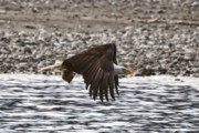 Alaskan Bald Eagle Acrylic Prints - Bald Eagle Flying Over River Acrylic Print by Clarence Alford
