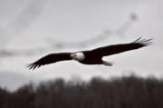 Alaskan Bald Eagle Acrylic Prints - Bald Eagle Gliding Acrylic Print by Clarence Alford