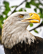 Birding Prints - Bald Eagle Head Shot Print by Bob Orsillo