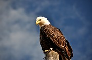 Bald Eagles Prints - Bald Eagle Homer Alaska Print by Debra  Miller
