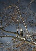 Natural Storm Posters - Bald Eagle In A Tree Poster by Con Tanasiuk