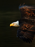 Flying Eagle Prints - Bald Eagle In Flight Print by Bob Christopher