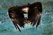 Fishing Prints - Bald eagle in flight Print by Dean Bertoncelj