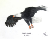 Wildlife Framed Prints Drawings Framed Prints - Bald Eagle in Flight Framed Print by Frederic Kohli