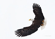 Michaela Sagatova Posters - Bald Eagle In Flight Poster by Michaela Sagatova