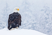 Snow Covered Trees Posters - Bald Eagle in the Snow Poster by Brandon Broderick