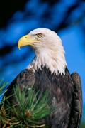Open Air Framed Prints - Bald Eagle Framed Print by John Hyde - Printscapes