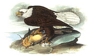 Predatory Framed Prints - Bald Eagle Framed Print by John James Audubon