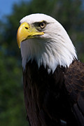 Bald Eagle Photo Framed Prints - Bald Eagle Framed Print by JT Lewis