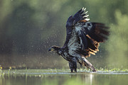 Bathing Photos - Bald Eagle Juvenile Bathing In A River by Tim Fitzharris