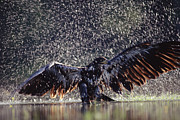 Bathing Photos - Bald Eagle Juvenile Bathing In River by Tim Fitzharris