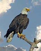 National Symbol Prints - Bald Eagle Print by Larry Linton